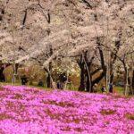 Japan's Top 100 Cherry Blossom Spots in Kanto Region