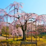 Popular 50 spots for cherry blossom viewing in Tokyo. [vol.2]