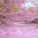 Japan's Top 100 Cherry Blossom Spots in Hokkaido and Tohoku Region