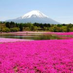 [Japan] A pink carpet of moss phlox (Shibazakura) creats an artistic beautiful scenery ! Top 5 spots to enjoy Shibazakura.