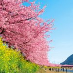 "Little earlier spring has come in the Izu Peninsula! ""Kawazu Cherry Blossom Festival"""