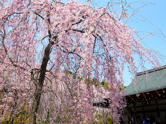 20150216-285-27-kyoto-Cherry-blossoms