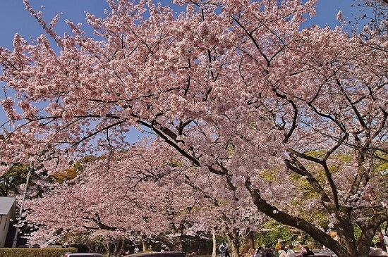 20150216-285-48-kyoto-Cherry-blossoms