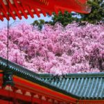 Popular 50 spots for cherry blossom viewing in Kyoto. [vol.1]