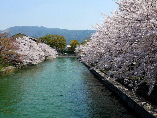 20150216-285-6-kyoto-Cherry-blossoms