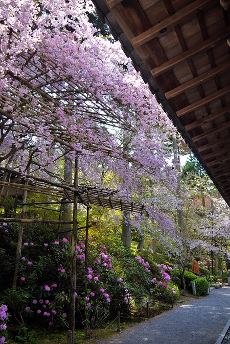20150216-285-9-kyoto-Cherry-blossoms