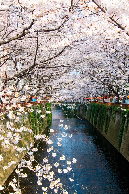 20150220-289-1-tokyo-Cherry-blossoms