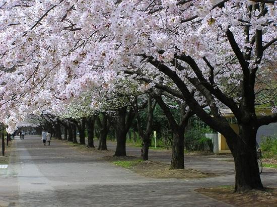 20150220-289-14-tokyo-Cherry-blossoms