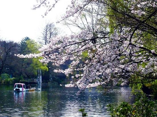 20150220-289-15-tokyo-Cherry-blossoms