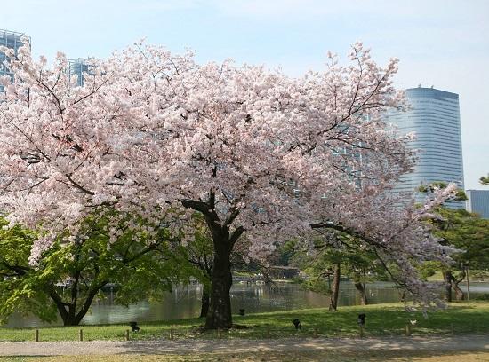 20150220-289-23-tokyo-Cherry-blossoms