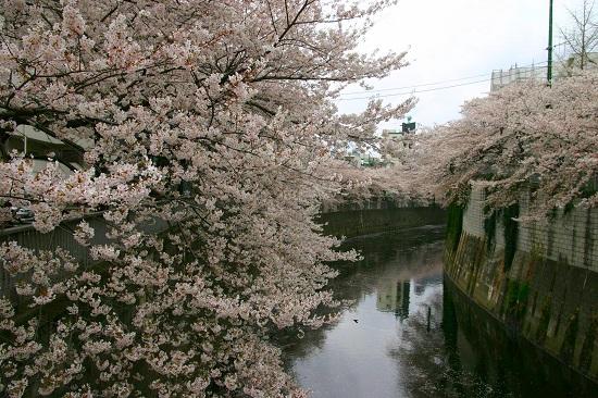 20150220-289-33-tokyo-Cherry-blossoms