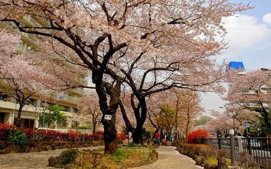 20150220-289-35-tokyo-Cherry-blossoms
