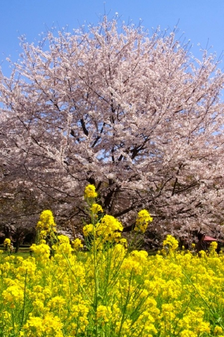 20150220-289-41-tokyo-Cherry-blossoms