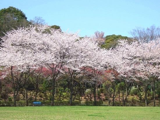 20150220-289-43-tokyo-Cherry-blossoms