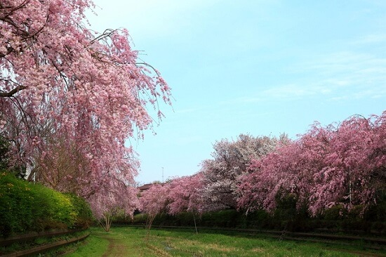 20150220-289-44-tokyo-Cherry-blossoms
