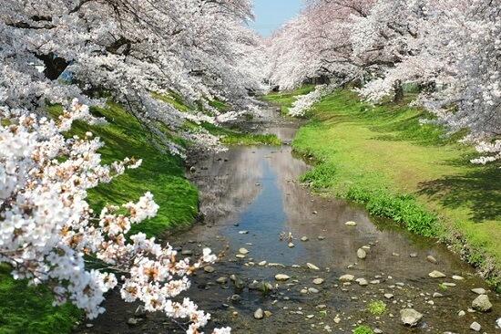 20150220-289-48-tokyo-Cherry-blossoms