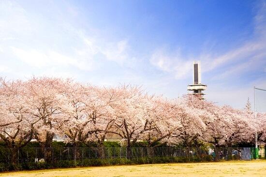 20150220-289-5-tokyo-Cherry-blossoms