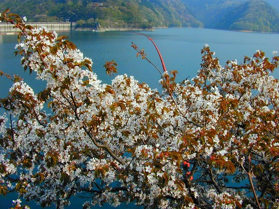 20150220-289-50-tokyo-Cherry-blossoms