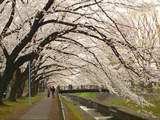20150220-289-9-tokyo-Cherry-blossoms