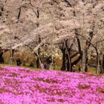 Japan's Top 100 Cherry Blossom Spots in Kanto Region