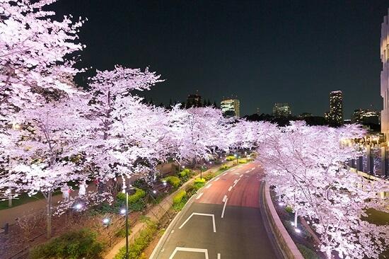 20160212-644-1-tokyo-Cherry-blossoms