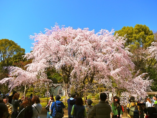 20160212-644-2-tokyo-Cherry-blossoms