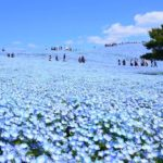 Hitachi Seaside Park – Blue world created by Nemophila is filled with the hillside as far as the eye can see.