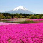 [Japan] A pink carpet of moss phlox (Shibazakura) creats an artistic beautiful scenery ! Top 5 spots to enjoy Shibazakura.